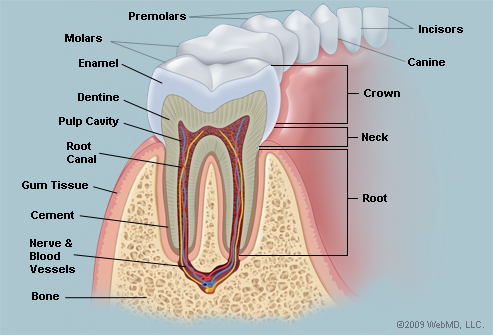 Oral anatomy pictures
